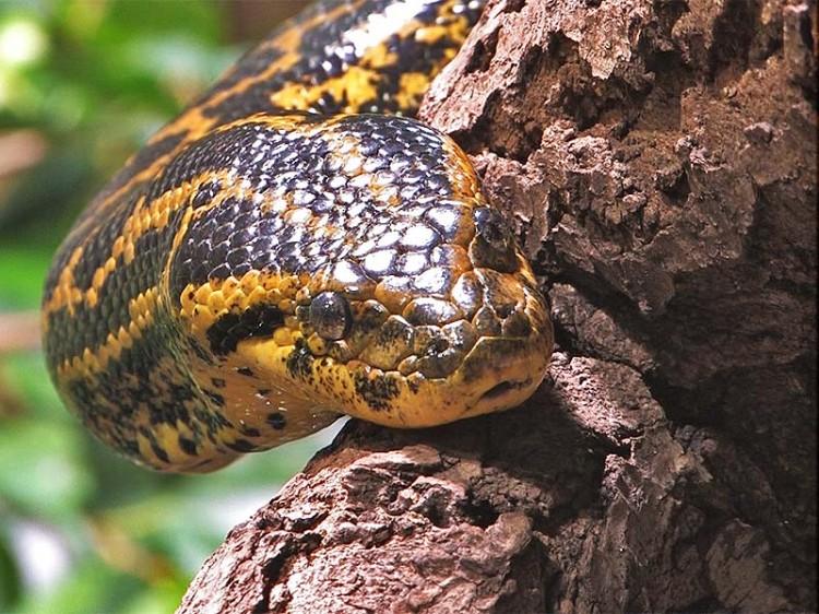 Гигантская сибирская змея