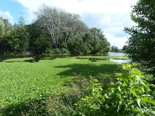 Тропический сорняк заполонил украинскую реку
