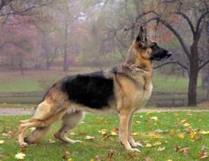 К чему приснилась большая собака.