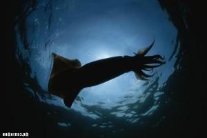Гигантский кальмар – фото