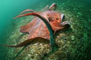 Гигантский осьминог – фото