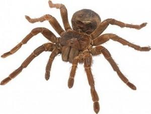 Гигантский паук – фото